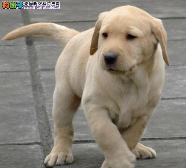 自家繁殖多只西宁拉布拉多犬促销疫苗驱虫已做