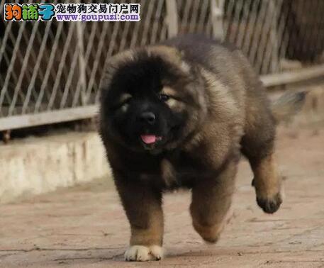犬舍直销俄系熊版深圳高加索犬 驱虫疫苗已做齐全