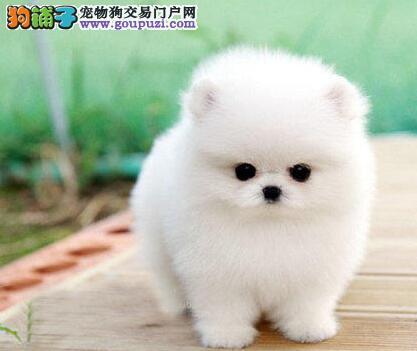 出售聪明伶俐榆林博美犬品相极佳签订协议终身质保