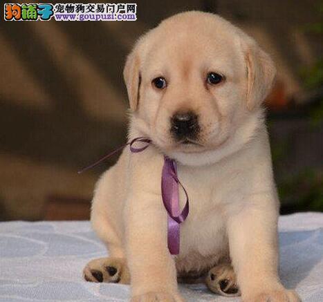 广州到哪买拉布拉多犬好 纯种拉多狗广州哪有卖拉多