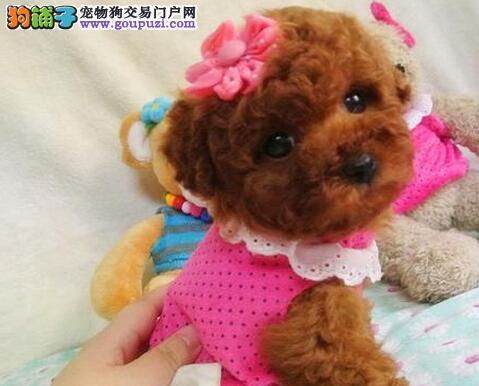 贵阳实体店热卖精品泰迪犬颜色多只可挑选包养活