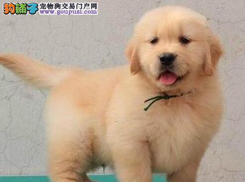 大头宽嘴金毛犬重庆狗场热销 售后完美实体店销售