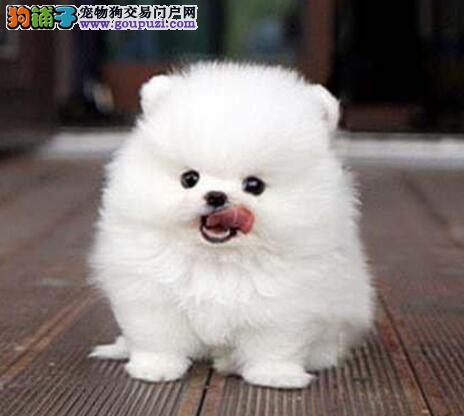 黄色白色的南昌博美犬低价转手 多只幼犬供您选购