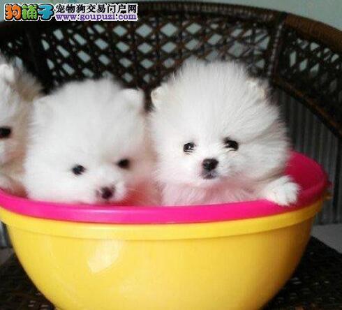 银川CKU犬舍出售纯种博美 毛纯白的一塌糊涂 非常可爱