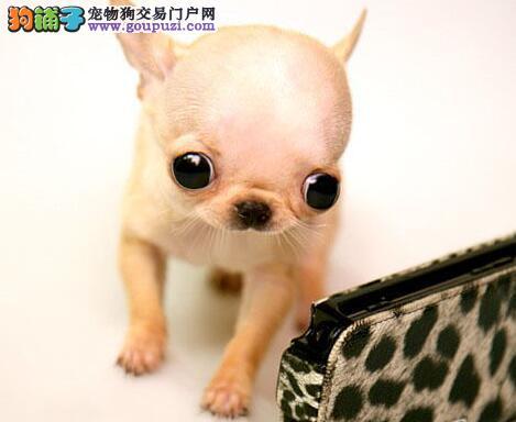 大眼睛苹果头的南昌吉娃娃幼犬 超小体型人见人爱