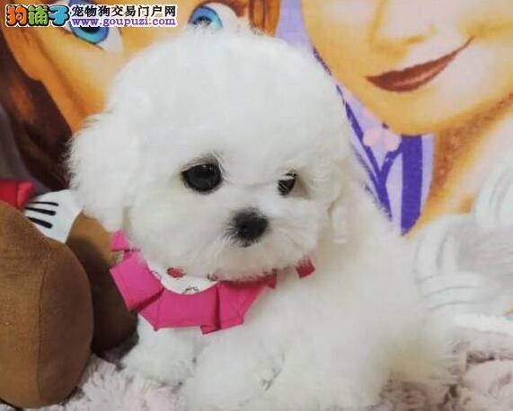 南昌狗场出售健康的雪白比熊犬 签订合法的售后协议