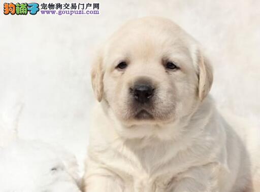 家养赛级拉布拉多宝宝品质纯正全国十佳犬舍