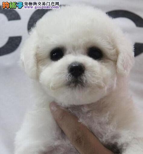 郑州售韩国甜美比熊犬 巴比熊犬棉花糖白色粉扑