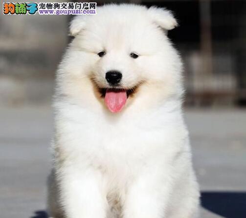 实体店低价促销赛级萨摩耶幼犬包养活包退换