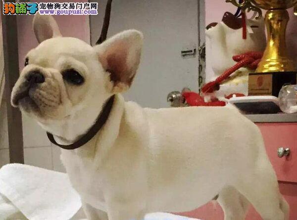 辽源出售小体迷你法国斗牛犬幼犬 活泼健康