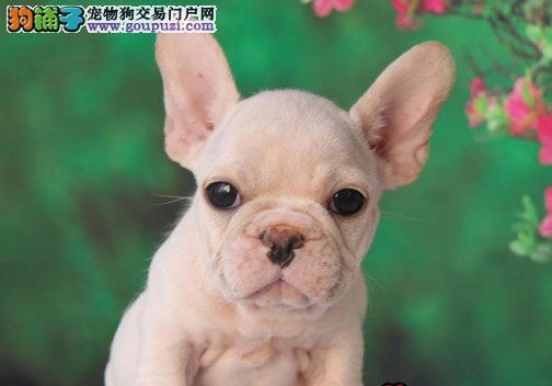 出售聪明伶俐法国斗牛犬品相极佳微信咨询看狗狗视频