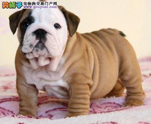 CKU犬舍认证出售高品质英国斗牛犬欢迎爱狗人士上门选购
