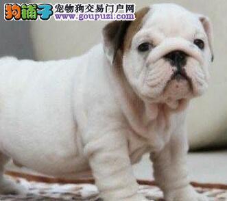 天津自家繁殖英国斗牛犬出售公母都有品质一流三包终身协议