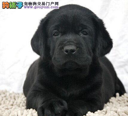 纯种拉布拉多宝宝陇南地区找主人微信咨询视频看狗