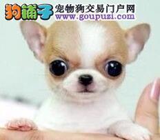 极品纯正的吉娃娃幼犬热销中签协议上门选