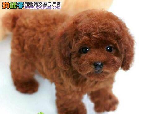广州犬舍直销韩系泰迪犬 保证健康保证纯度品相好