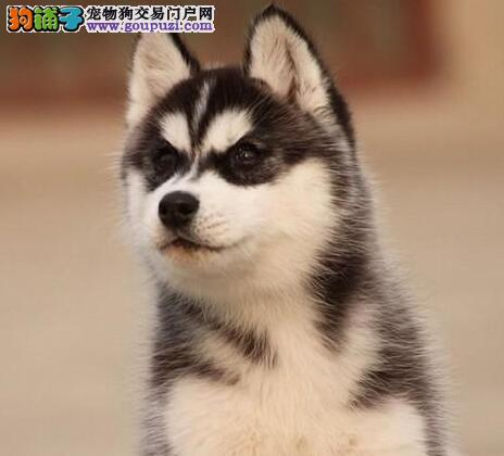转让优秀三把火哈士奇 欢迎来广州狗场直接购买