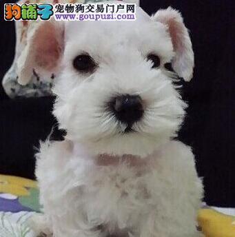 精品椒盐色广州雪纳瑞 所有犬只均可保证纯种健康