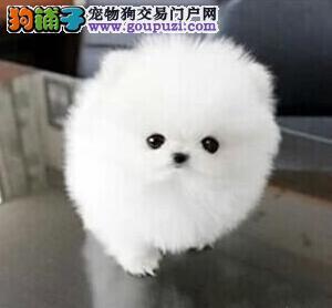 直销纯种哈多利版博美犬 广州市内可免费送上门