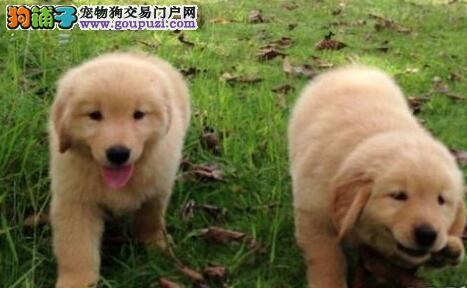出售金毛幼犬品质好有保障假一赔万签活体协议