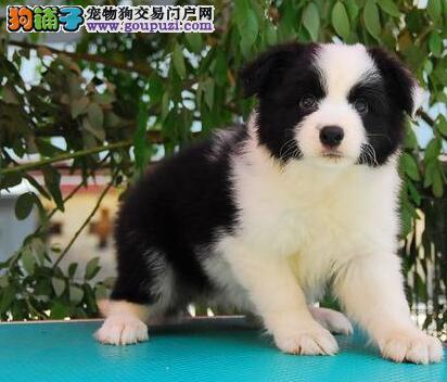 特价转让七白到位广州边境牧羊犬 颜色多样公母全