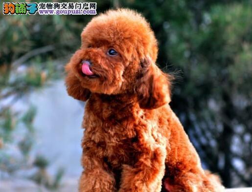 犬舍低价热销 泰迪犬血统纯正品质血统售后均有保障