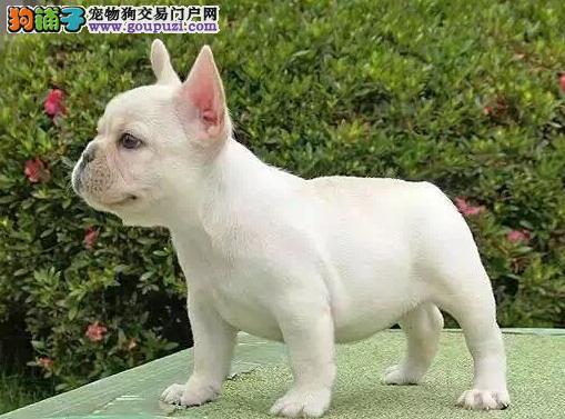 超可爱纯种赛级烟台斗牛宝宝出售 来场可见爱犬父母