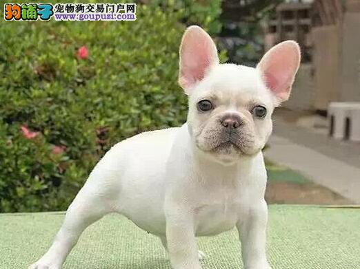 出售极品法国斗牛犬幼犬完美品相周边免费送货