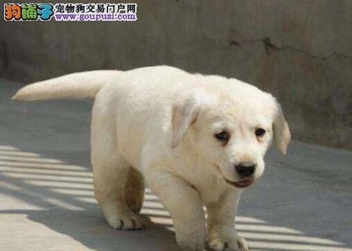 最强质保拉布拉多西安狗场直销 90天退换 还送狗狗用品