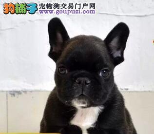 大型犬舍特价出售优质斗牛犬 福州周边城市可送狗
