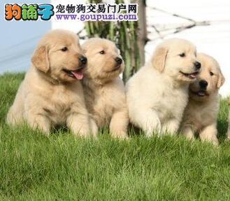 健康纯种品相好的徐州金毛犬找爸爸妈妈 非诚勿扰