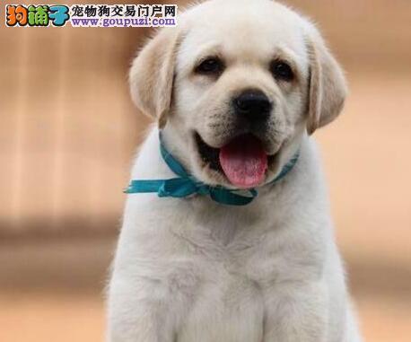 基地促销纯种贵阳拉布拉多犬保证健康签协议