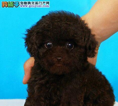 公母均有的玉溪泰迪犬找爸爸妈妈办理血统证书
