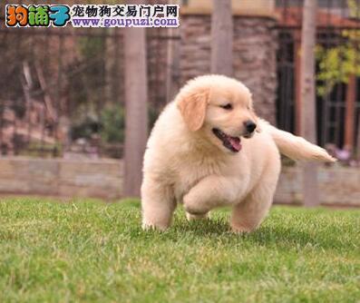 家养多只西安金毛宝宝出售中微信咨询看狗狗视频