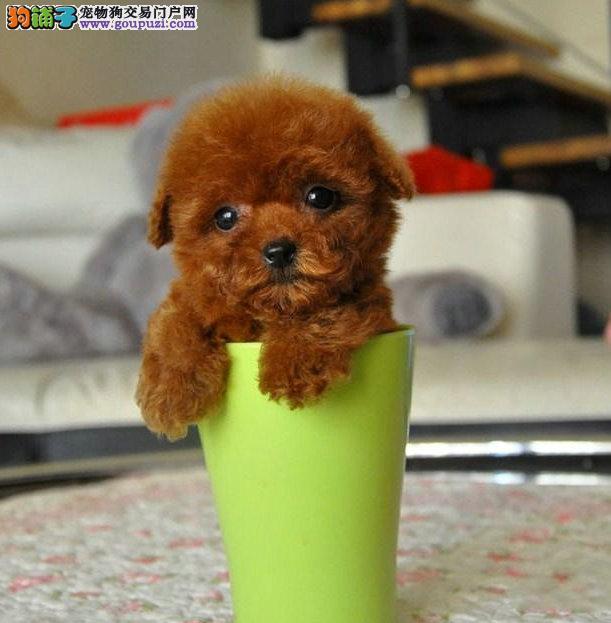 纯茶杯幼犬 玩具泰迪幼犬多只 健康活泼 可签协议