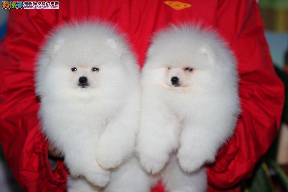 哪里有卖纯种博美犬的 纯种哈多里小体博美幼犬多只