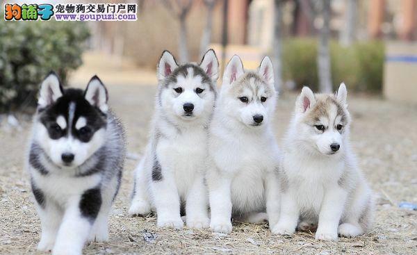 哪里有卖纯种哈士奇的 双蓝眼 带血统的顶级幼犬