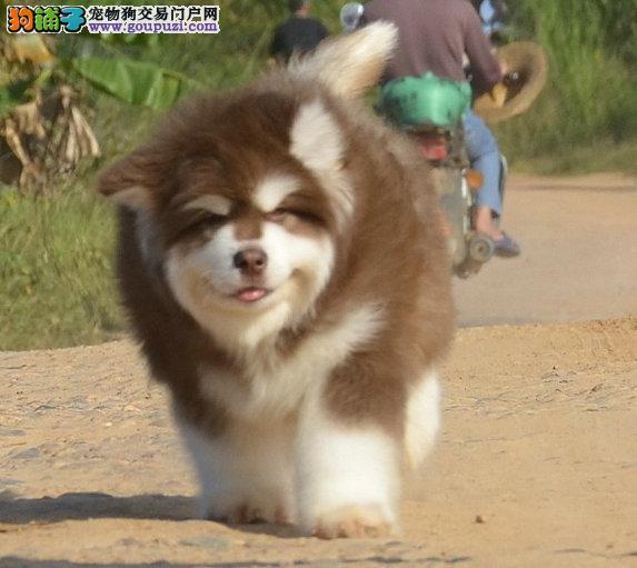 纯种阿拉斯加犬的顶级登录血系高品质啊拉