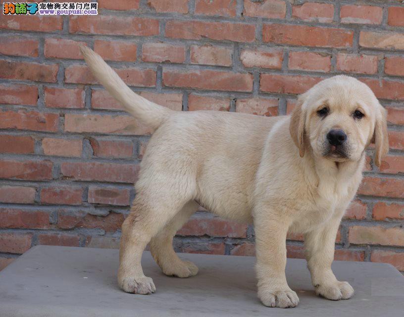 北京哪里有卖纯种拉布拉多犬的
