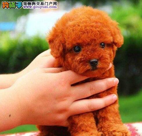 犬舍直销品种纯正健康泰迪犬送用品送狗粮