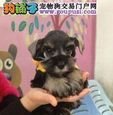 极品雪纳瑞幼犬,专业繁殖血统纯正,微信咨询看狗