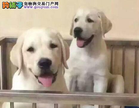 热销精品冠军级血系长春拉布拉多犬 已做好疫苗和驱虫