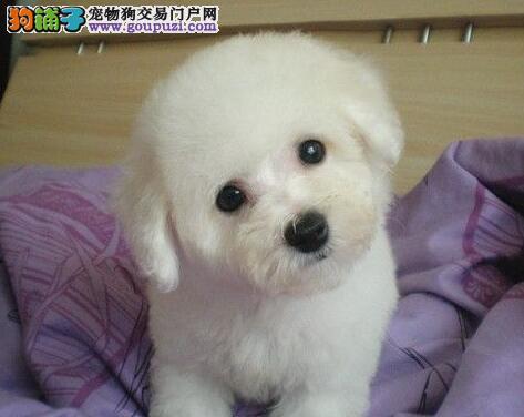 天津正规犬舍推出顶级泰迪犬 纯血统赛级CKU认证