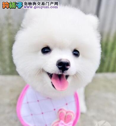 品相极佳血统纯正的合肥博美犬出售 签订合法协议