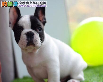 热销法国斗牛犬幼犬 公母均有颜色齐全 质保健康90天