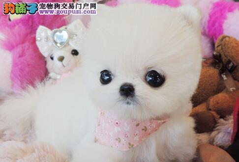 哈多利球体大眼睛乖巧可爱的长春博美犬特价热卖中