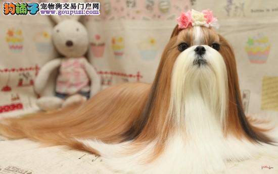 天津自家狗场繁殖直销西施犬幼犬当日付款包邮