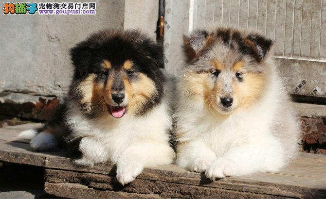 犬舍直销品种纯正健康苏牧带血统证书签活体协议