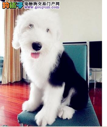 贵阳实体店低价促销赛级古代牧羊犬幼犬保障品质一流专业售后