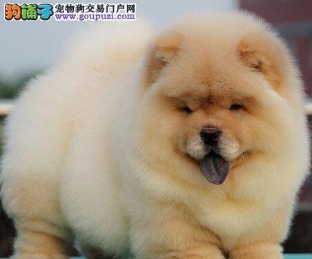 低价出售紫舌无锡松狮犬 欢迎直接来犬舍购买价格优惠